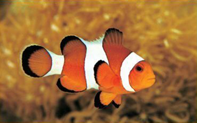 Coral reef habitat thinglink for Clown fish scientific name